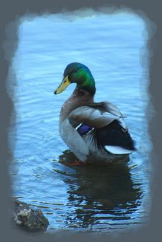 Mallard on Lake Taneycomo, Missouri