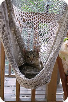 Nashville, TN - American Shorthair. Meet Toni a Kitten for Adoption.
