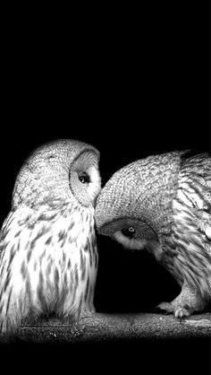 Bird, branch, black background, a pair of owls. i bestow thee a kiss Beautiful Owl, Animals Beautiful, Owl Bird, Pet Birds, Animals And Pets, Cute Animals, Baby Animals, Wise Owl, Tier Fotos