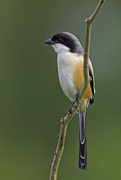 Long tail Shrike  also this one can found in Philippines