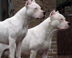 #Dogo Argentino beautiful