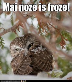 Chilled Owlet