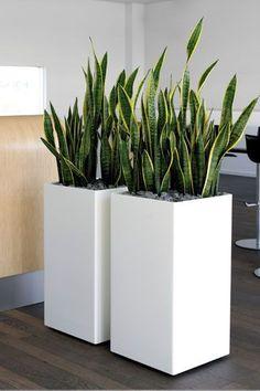 Planta de serpiente / Lengua de suegra / Mala madre: Sirve para absorber los óxidos de nitrógeno y formaldahyde.