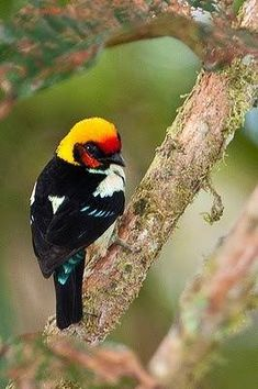 The Flame-faced Tanager (Tangara parzudakii) is a species of bird in the Thraupidae family. It is found in Colombia, Ecuador, Peru, and Venezuela