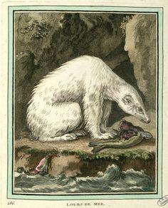 Polar bear, Collection des Animaux Quadrupèdes, 1753, from the 36-volume series Histoire Naturelle, issued by Georges-Louis Leclerc, Comte de Buffon.