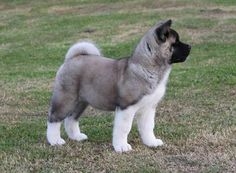 American Akita Puppy (Akita Club e. - Association for the Ac .- American Akita Welpen (Akita Club e. – Verein für den Akita & den American Ak… American Akita Puppy (Akita Club e. – Association for the Akita & the American Akita) - Akita Puppies, Cute Puppies, Cute Dogs, Dogs And Puppies, Beautiful Dogs, Animals Beautiful, American Akita Dog, Animals And Pets, Cute Animals
