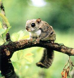 Korean flying squirrel