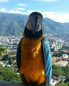 One Guacamaya + Avila + Caracas = Beauty