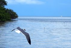 Seagull at the South Beach, Green Turtle Cay
