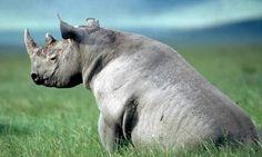 rhino sitting - Google Search