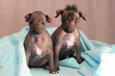 Perros (Xoloitzcuintle) raza mexicana.