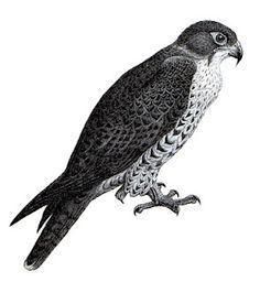 A Falcon ~ my old high school mascot :)