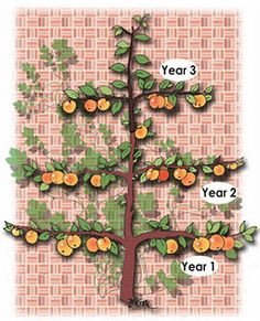 stages of training for espaliered trees