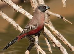 Black-faced waxbill, found in dry bushveld areas in southern and east Africa. Photo credit: Warwick Tarboton