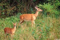 Everglades White-Tailed Deer Habitat | South Florida Aquatic Environments