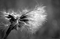 Dandelion flight and death