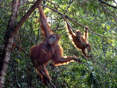 Take $1,600 Off! An island divided among three countries, Borneo is a natural melting pot of Asian culture. Experience the heart of this multicultural country by joining Pacific Holidays on an adventure that explores city, jungle, and all the traditions that connect the two.   Bring a blankie and pillow along on the flight to Kuching. This overnight journey whisks guests across the Pacific and the International Date Line - a bucket list must for any serious world traveler.  A single day in…
