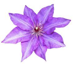 transparent-flowers:  Transparent Purple Clematis. (x).