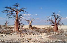 Makgadikgadi salt pans and the majestic baobab tree- Botswana Places To Travel, Places To Visit, African Tree, Baobab Tree, Safari Adventure, Wildlife Safari, Travel Activities, Fun Activities, Africa Travel