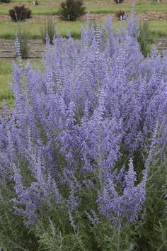 It is the wonderful fragrance of Denim 'n Lace Perovskia that has the deer turning away. But it is one reason you should consider it for your landscape this season. This is a russian sage with a very tight habit and an overabundance of color all season lo