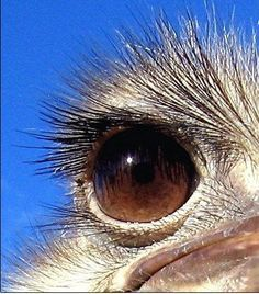 Oh, Darling, To Have Those Lashes! Stunning Eye of the Ostrich! Photo Oeil, Animals And Pets, Cute Animals, Camelus, Wild Creatures, Mundo Animal, Stunning Eyes, Art Plastique, Bird Art