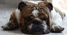 ¿Qué cuidados necesita el Bulldog inglés?