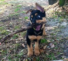 Rottweiler Mixes German shepherd German Shepherds Rottweilers = German Rottie puppy cute eating stick