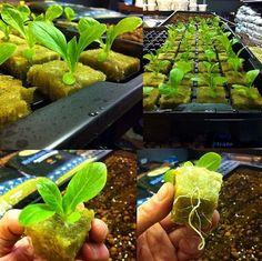 Photo Credit: @hydro_jimbo Lettuce Grown in Rockwool