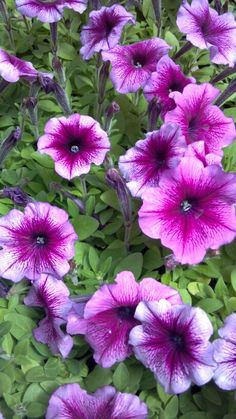 Petunia Hurrah Plum  Bountiful Plants