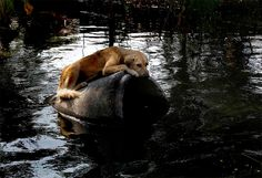 An abandoned dog sits on a concrete pipe in a flooded area of Bangkok, Thailand, November 16.