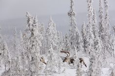Bull caribou in the snow covered spruce trees of the boreal forest near finger mountain, Alaska
