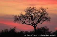 Wild Wings Safari offers unforgettable scheduled Kruger Park Safaris: 4 or - or you can custom your own. Expert, knowledgeable guides, open safari vehicles, overnight in Kruger itself for a real African safari experience. Dawn And Dusk, African Safari, Sunsets, Silhouettes, Palette, In This Moment, Park, Nature, Pictures