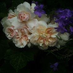 Desprez á Fleur Jaune