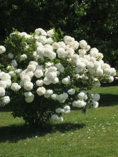 Chinese snowball is one of spring's showiest shrubs. White flower clusters 6 to 8 inches across festoon its branches in late spring. Though it looks like a hydrangea, it's actually a viburnum. Flowering Bushes, Trees And Shrubs, Trees To Plant, White Flowering Trees, Beautiful Gardens, Beautiful Flowers, Beautiful Gorgeous, Snowball Viburnum, Snowball Plant