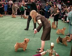 Norwich Terriers in the show ring at Westminster Kennel Club