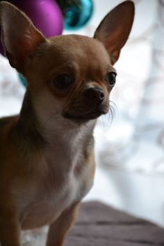 Red Long Haired Chihuahua Female LongHaired Red