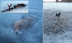 Glacier fox: Animal becomes latest to freeze solid in Scandinavia's lakes, following fish and moose    Global warming? Yeah, right.