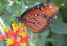 Texas Backyard Naturalist - Butterflies