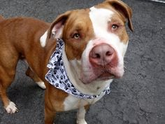 GONE 5-22-2015 --- Manhattan Center GINGERBREAD aka 90 YELLOW – A1036263 MALE, BROWN / WHITE, PIT BULL MIX, 3 yrs STRAY – STRAY WAIT, NO HOLD Reason STRAY Intake condition EXAM REQ Intake Date 05/14/2015