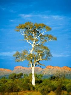 This scene typifies Australia's outback. A Ghost Gum's smooth white bark contrasts with the rugged red-brown ridges of the MacDonnell Ranges, Northern Territory. Australian Plants, Australian Bush, Australian Cattle Dog, Australia Landscape, Landscaping Trees, Eucalyptus Tree, Tree Forest, Native Plants, Western Australia