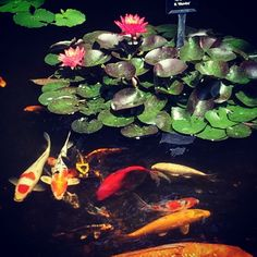 Some of my Koi by my favorite Water Lily - The Wanvisa'. Koi, Jackson, Lily, Nursery, Patio, Plants, Animals, Animales, Animaux