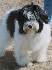Zoom - Father of Polanka and Marley - Polish Lowland Sheepdogs