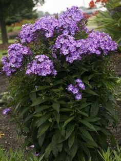 PHLOX PANICULATA 'PIXIE MIRACLE GRACE' - smells great, reblooms after deadheading.