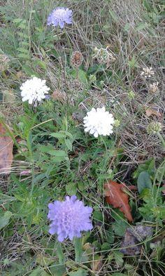 26.10.2016 Scabiosia columbaria o Vedovina selvatica