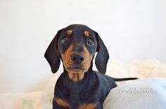 Oscar the miniature dachshund puppy - milk bubble tea blog