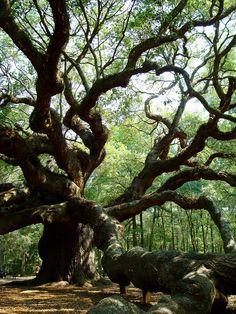 Oak The Angel Oak - this is beautiful and close to where I live . come visit.The Angel Oak - this is beautiful and close to where I live . come visit. Trees And Shrubs, Trees To Plant, Angel Oak Trees, Weird Trees, Live Oak Trees, Celtic Tree Of Life, Unique Trees, Old Trees, Tree Forest