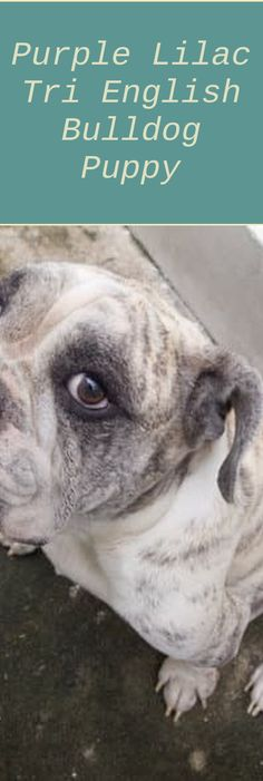 The Complete Guide to English Bulldogs: How to Find, Train, Feed, and Love your brand-new Bulldog Puppy #puppylove #puppylovers #bulldogs #bluefrenchi...