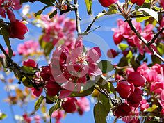 Blooming crab apple trees in Spring, Boise, Idaho (City of Trees.) ©Photo copyright by Marty Nelson. Photographer website: http://www.dreamstime.com/uploads