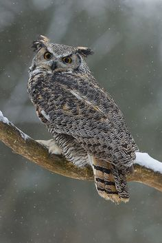 Great-Horned-Owl by beabss