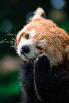 red pandas are the cutest